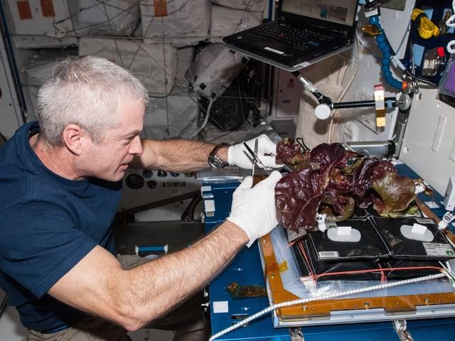 ISS-Kommandeur Steve Swanson erntet ein Blatt von einem Salat, der auf der Raumstation gewachsen war.