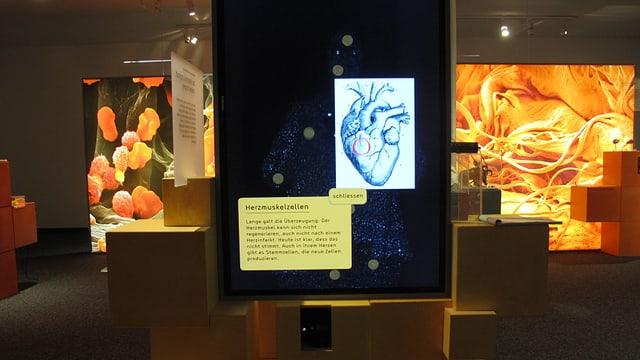 Die Stammzellen in einem Herzmuskel.