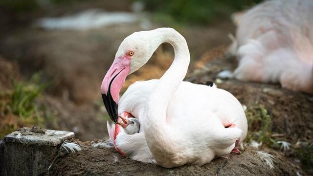 Der frischgeschlüpfte Flamingo lässt sich von der Mutter füttern.