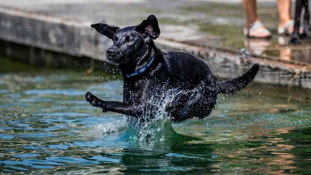 Ein Hund mit schwarzem Fell springt in den Zürichsee.