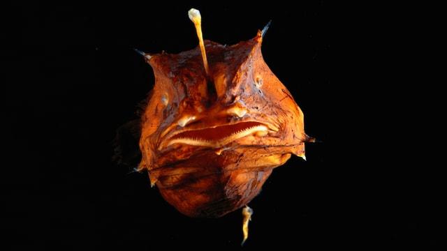 Oranger Fisch mit einem kleinen, länglichen Männchen am Bauch