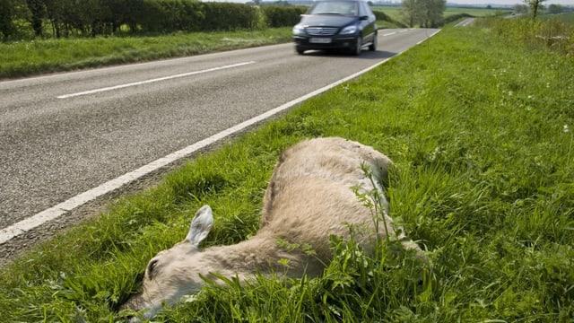 Totes Reh neben einer Strasse.