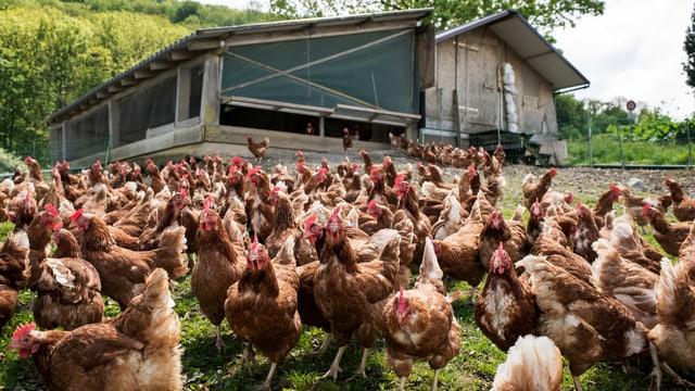 Hühner im Freien vor dem Hühnerstall.