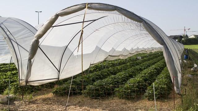 Schutz vor Wind und Wetter: Erdbeeren werden in so genannten Folientunneln gezogen.