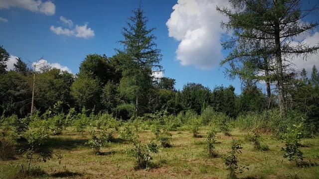 Junger Wald im Wachstum