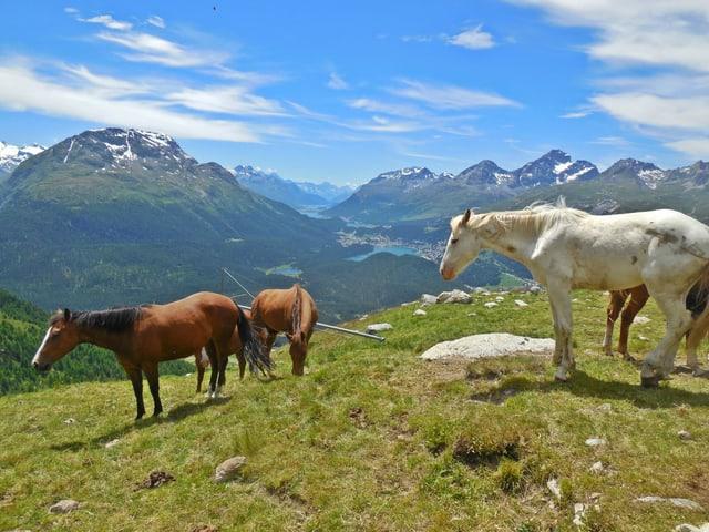 Pferde auf der Alp Muragl.