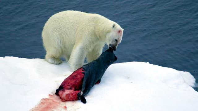 Eisbär frisst eine Robbe.