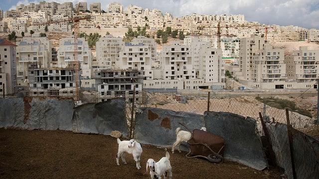 Ziegen in einem kleinen Gehege. Dahinter Neubauten einer israelischen Siedlung.