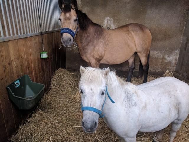 Ponys im Stall.