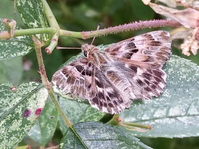 Der Malvendickkopffalter als Schmetterling