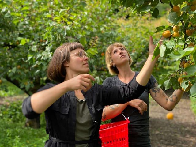 Zwei Frauen pflücken Aprikosen