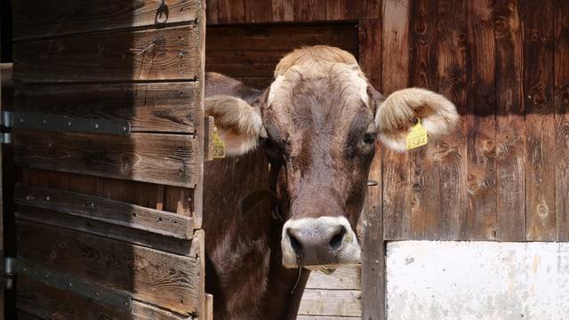 Ein Kuh schaut aus einem Stall.