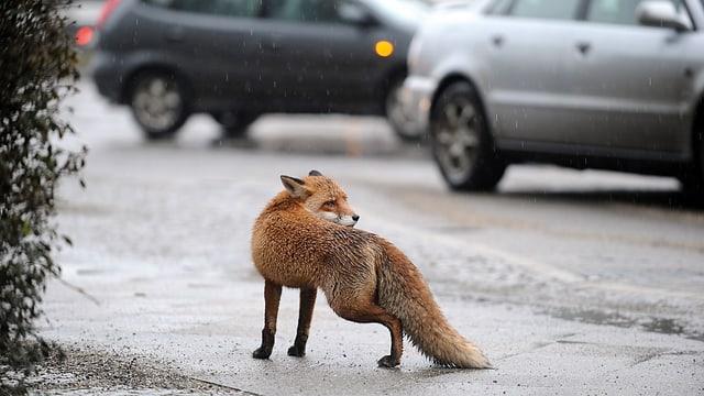 Passt irgendwie nicht hierhin - ein Fuchs mitten in der Stadt