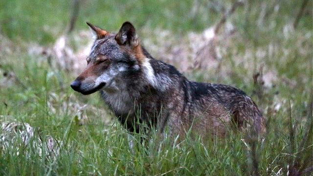 Ein Wolf steht in hohem Gras.