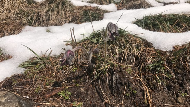 anemona da la muntogna