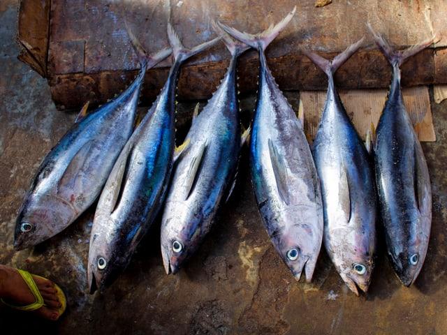 Leblose Thunfische