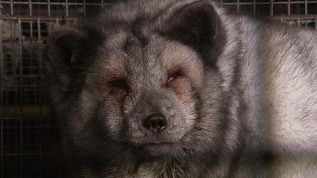 Ein überfütterter Polarfuchs der seine Augen kaum öffnen kann