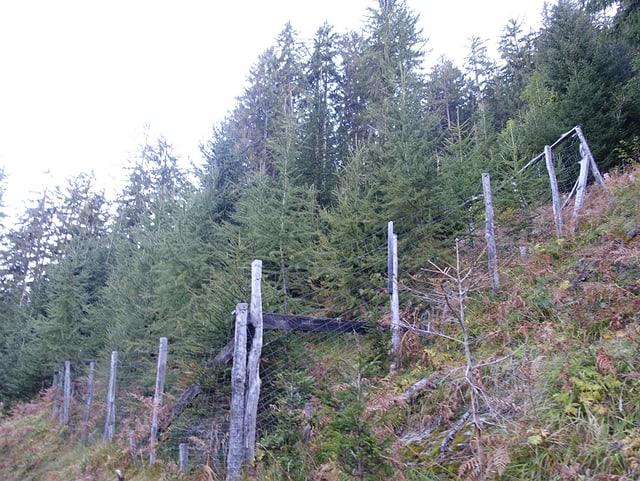 En divers lieus dal guaud da protecziun èn vegnidas installadas saivs per evitar ch'ils tschervs donnegian las plantinas giuvnas.