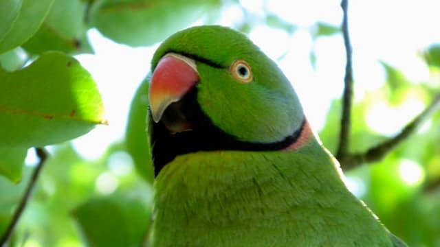 Der grüne Papagei mit dem roten Schnabel.
