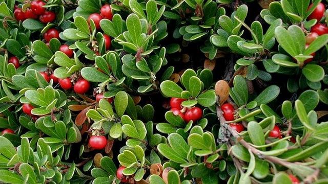 Die Pflanze verdankt ihren Namen dem Appetit von umherstreifenden Bären.