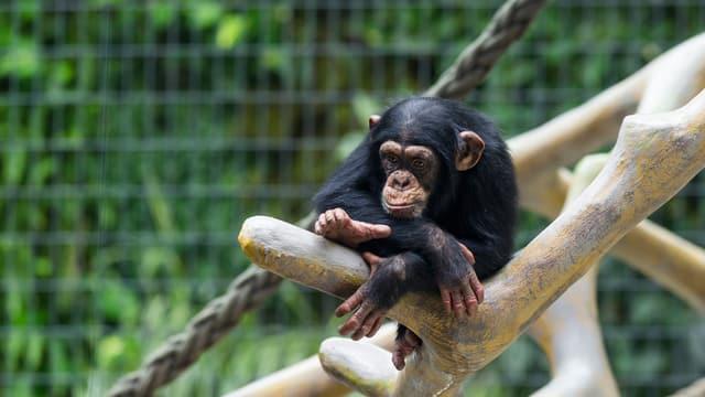 Colebe – ein halbstarker Affe im Zolli Basel.
