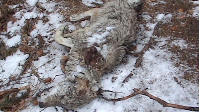 Der Tote Wolf in Graubünden.