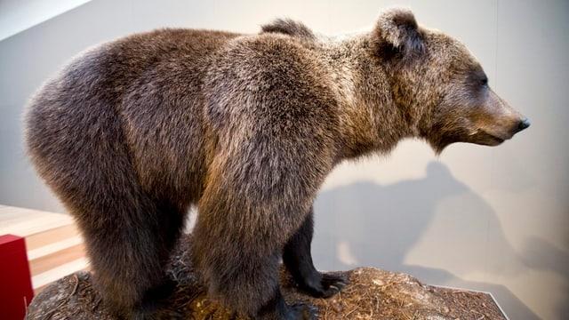 Ausgestopfter Bär im Museum