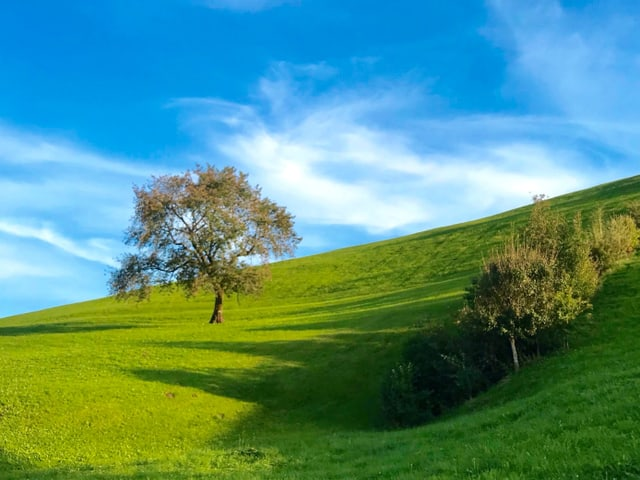 Landschaft bei sonnigem Wetter: ein grüner Hügel, ein Baum steht darauf, seine Blätter beginnen sich zu verfärben.