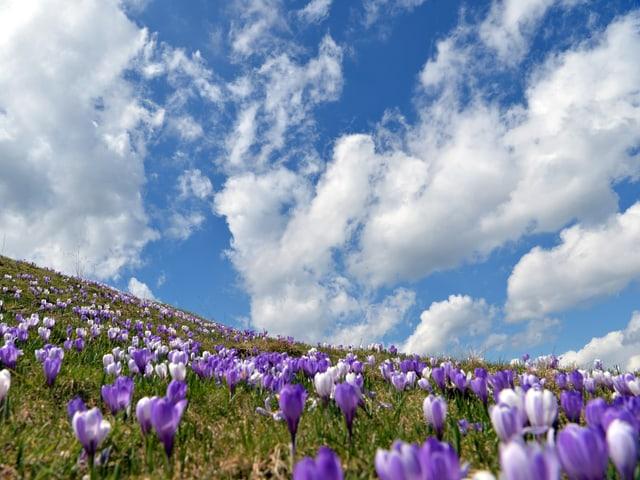 Eine Wiese voller violetter Krokusse, darüber ein mit Wolken geschmückter, blauer Himmel.