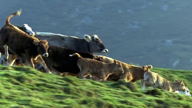 Vieh auf Alp