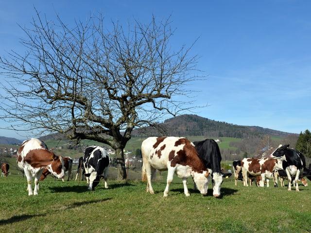 Grüne Wiese mit Kühen, blauer Himmel, kitschig.