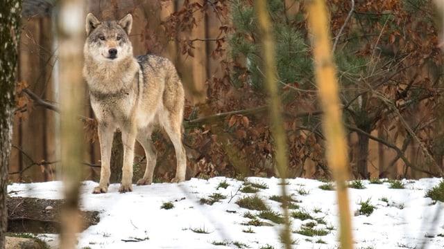 Ein Wolf steht auf Schnee.