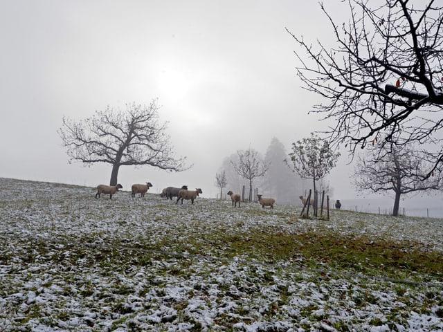 Schafe auf der Weide im Schnee.