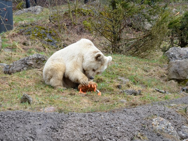 Ein Bär spielt mit Karotten.