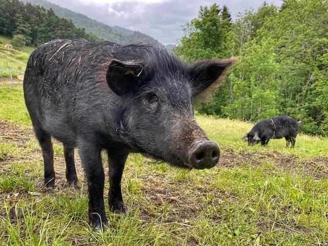 Schwein auf dem Hof Morgarot