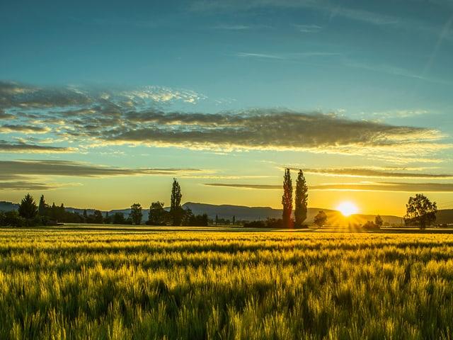 Feld in zarten Gelbtönen beschienen von der Morgensonne. Sie ist knapp über dem Horizont zu sehen. Der Himmel ist blau mit wenigen Wolken.