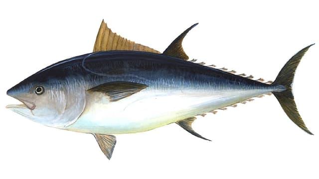 Grafische Darstellung des Roten Thunfisch, auch Blauflossen-Thunfisch genannt.