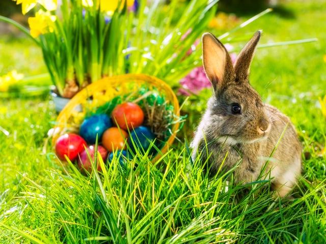 Ein Hase sitzt auf einer grünen Wiese im Sonnenschein. Vor ein paar Osterglocken stehen ein paar bunt gefärbte Eier.