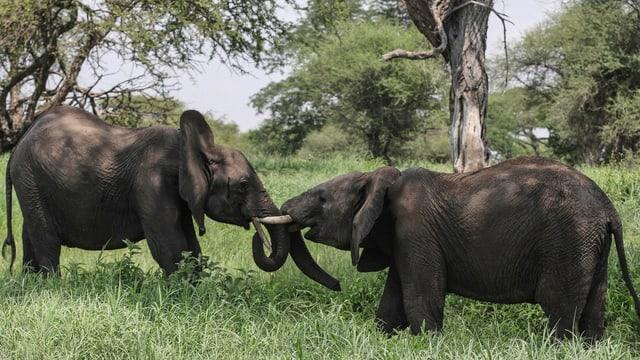 Zwei tansanische Elefanten interagieren miteinander.