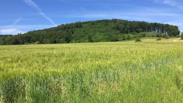 Bewaldeter Hügel, davor Getreidefeld.