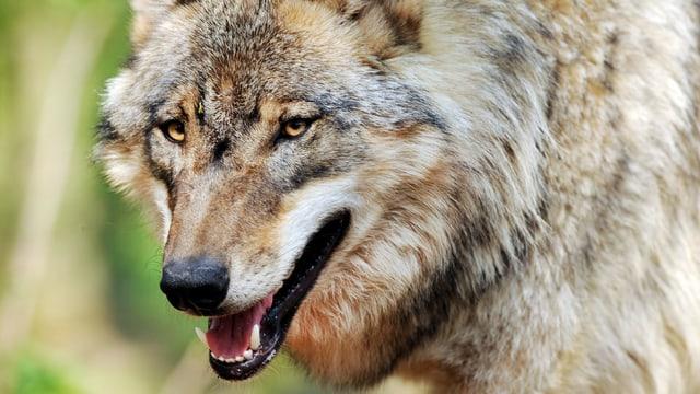 Nahaufnahme eines Wolfs.