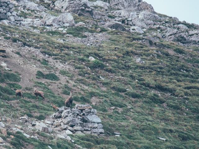 Eine Gruppe von Gämsen stehen im Berghang.