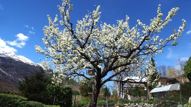 Blühender Baum in Chur.