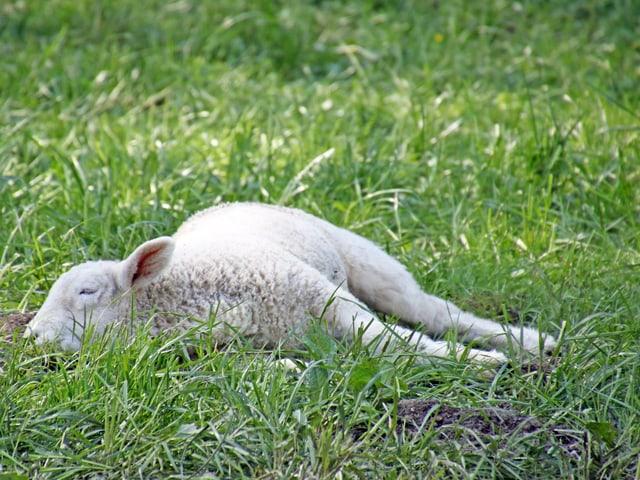 Ein junges Schaf liegt in der grünen Wiese.