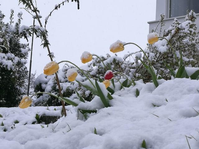 Verschneite Tulpen
