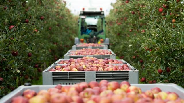 Kisten voller Äpfel bei der Ernte in Goldach