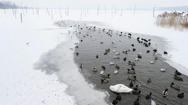 Enten auf gefrorenem Pfäffikersee