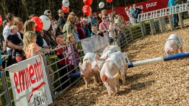 Schweinerennen und Zuschauer