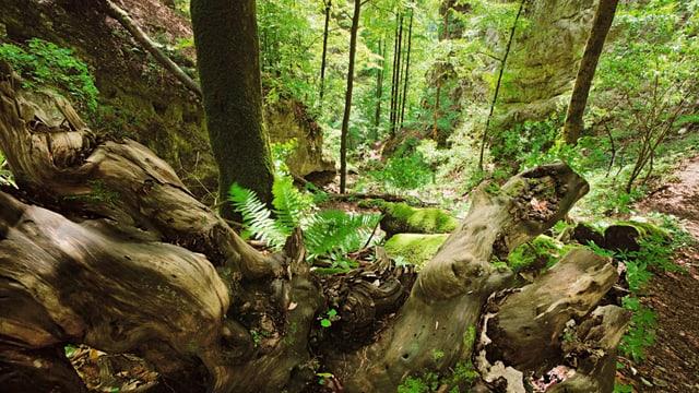 Blick in ein Waldreservat vom Naturpark Thal.