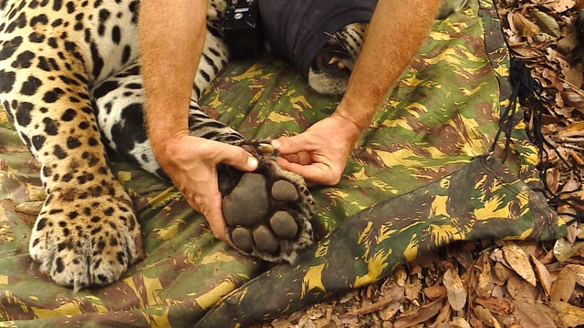 Die Pfote eines Jaguars